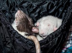 Finally a pair that can compete with Skittles & Smudge!! Fedya Rat (@Fedya_Rat) | Twitter