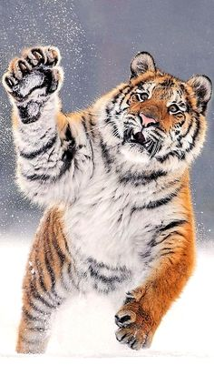 What a gorgeous tiger ❣You can find Wild cats and more on our website.What a gorgeous tiger ❣ Animals Images, Nature Animals, Animals And Pets, Cute Animals, Pretty Cats, Beautiful Cats, Animals Beautiful, Big Cats, Cool Cats
