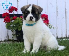 Spike | Akita Puppy For Sale | Keystone Puppies Akita Puppies For Sale, Design Development, Baby Dolls, Handsome, Dogs, Animals, Animales, Animaux, Pet Dogs