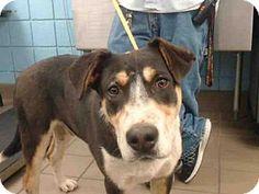 Albuquerque, NM - Australian Shepherd/Bernese Mountain Dog Mix. Meet WARSAW, a dog for adoption. http://www.adoptapet.com/pet/17797411-albuquerque-new-mexico-australian-shepherd-mix
