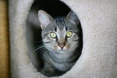 Phoenix a Tabby Cat for Adoption