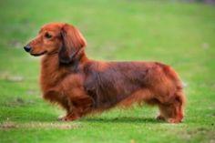 Dachshund - Standard Puppies