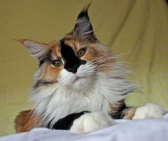 Inky faced Maine Coon Nightingale. http://www.mainecoonguide.com/male-vs-female-maine-coons/