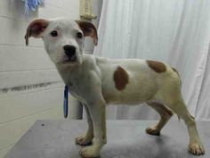 03/01/17-HOUSTON - SUPER URGENT - This DOG - ID#A478635 I am a female, white and brown American Pit Bull Terrier. The shelter staff think I am about 4 months old. I have been at the shelter since Mar 01, 2017. This information was refreshed 22 minutes ago and may not represent all of the animals at the Harris County Public Health and Environmental Services.