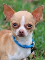 Niblet is an adoptable Chihuahua Dog in Lafayette, IN. Niblet is a 5-year-old female Chihuahua. She is housebroken and can be very sweet, but very cautious around strangers. Niblet was brought to us w...