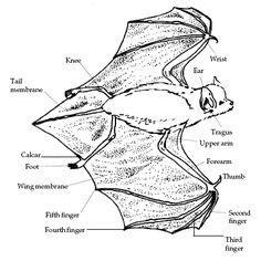 Image result for bat wings   animals   Pinterest   Bat wings