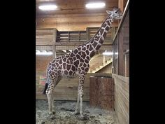 April the Giraffe is expecting a calf! Follow the process as she and her mate, Oliver, welcome a new baby. Animal Adventure Park Harpursville, NY www.TheAnim...