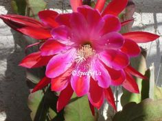 Taking it to the Streets Epiphyllum Orchid Cactus by Speedy4Us, $10.99