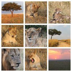 kenya Kenya, Lion, Travel, Animals, Leo, Viajes, Animales, Animaux, Lions