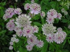 Good cut flower Astrantia major is a superb perennial for light shade under trees and shrubs on a Perennial Border Plants, Herbaceous Border, Herbaceous Perennials, Hardy Perennials, Tiny Flowers, Amazing Flowers, Pretty Flowers, Astrantia Major, Garden Crafts