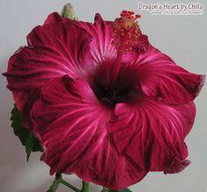 Hibiscus 'Dragon's Heart'