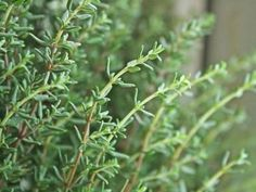 When to Prune Woody Herbs, like Rosemary, Lavender, and Oregano: You can see the darker, woody stems of this thyme plant below the tender, green tips.