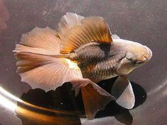 Great photo of a tosakin goldfish