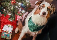 The weather forecast has already retracted those rainless days  ---------------------------------------------- This is my entry for #ChristmasSpiritContest hosted by @blueeyeskye @thedoxieteers @graywoof @lexiesheartbeat  -------------------------------------------------- This is my entry for #barkthehalls2 hosted by @hollyupnorth @hootandco @miniaussie_bryn -------------------------------------------- by oli_the_aussie_