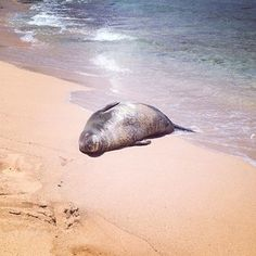 Spotted the endangered Hawaiian Monk Seal sleeping on the shores of Maha'ulepu beach today.