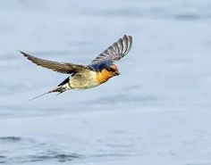 Image result for welcome swallows