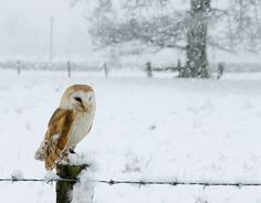 Barn Owl snow scene - Taken at Mid-Wales Falconry centre in Castle Caereinion, Wales