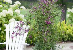 Winning Plants to Look for in 2014 | Gardener's Journal Autumn Clematis in Purple  Sweet Summer Love