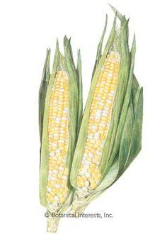 Corn Sweet Sugarbaby (bicolor) Seeds
