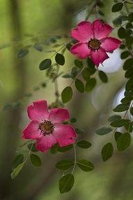 Wild Rose - Alberta's Provincial Flower - tat idea