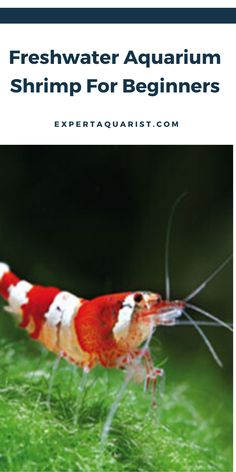If you're searching for a new addition to your community tank or even want to get into breeding, these freshwater shrimps definitely deserve the place in your aquarium. Today, we are bringing you a guide for Freshwater Shrimps for Beginners. Freshwater Aquarium Shrimp, Freshwater Fish, Aquarium Fish, Fish Aquariums, Colorful Fish, Tropical Fish, Amano Shrimp, Ghost Shrimp, Red Cherry Shrimp