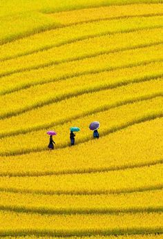 Yellow fields in Vietnam Beautiful World, Beautiful Places, Beautiful Pictures, Yellow Fields, Fields Of Gold, Foto Poster, Foto Blog, Jolie Photo, Shades Of Yellow
