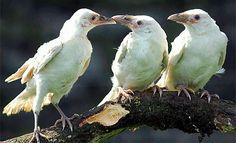 Leucistic WHITE RAVENCorvus corax©Vancouver Island Birds/Mike Yip — imaginarynatalia:  The Babies!