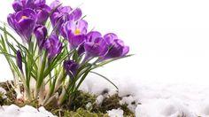 Crocuses Snow