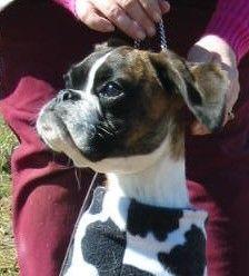 "Boxer puppy Tater Tot, ""Tatum"" AKA ""Watta Dog""  of Boxberry Boxers"