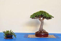 Alisios bonsái