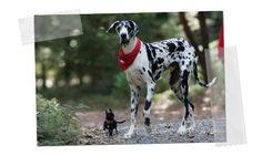 Gibson: El perro más alto del mundo: Según el Guinness World Records el perro vivo más alto del mundo es Gibson, un Gran Danés con una altura a la cruz de 107 cm !!. Gibson trabaja como perro de terapia en California. (vídeo) http://www.mascotissimo.com/gibson-el-perro-mas-alto-del-mundo/ #gibson #perros #guinness #grandanes #mascotas