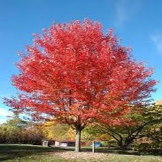 Decorate your yard or lawn with this Autumn Blaze Maple Tree from OnlinePlantCenter which is upright, fast growing and turn into scarlet red in autumn. Maple Trees Types, Autumn Blaze Maple, Trees For Front Yard, Street Trees, Specimen Trees, Outdoor Landscaping, Landscaping Trees, Fall Plants, Deciduous Trees
