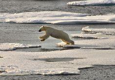 Polar bear leaping....