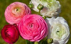 Wallpaper buds, bouquet, Ranunculus