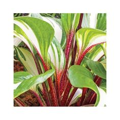 The Hosta Farm Store - all for your garden and home Beautiful Bouquet Of Flowers, Lavender Flowers, Purple Flowers, Herbaceous Perennials, Hardy Perennials, Organic Mulch, Organic Gardening, Hosta Plants, Potted Plants