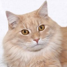 Tigger - Maine Coon