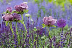 The Potager | Sue Townsend Garden Design, Papaver orientale with Salvia