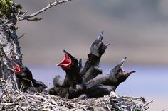 Baby Ravens In Their Nest Are Waiting by Paul Nicklen