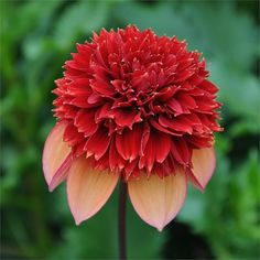 Dahlia 'Gitty Up', I'll take one for next year please!