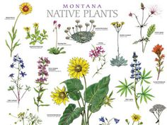 montana native plant poster