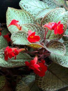 Shade Garden Plants, Indoor Plants, House Plants, Begonia, Spring Landscape, Landscape Design, Camelia Rosa, Nerve Plant, Narrow Garden