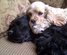 Cocker Spaniels cuddling