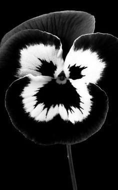 Flower in Black & White   MMMBOP flower