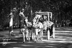 Horse and carriage Lourensford Wedding - Pierre & Shannon