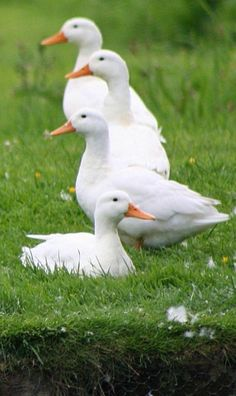 ♥ ~ ♥ Ducks and Duck Houses ♥ ~ ♥ Farm Animals, Animals And Pets, Cute Animals, Pato Real, Pet Ducks, What The Duck, Duck House, White Gardens, Country Life