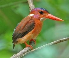 Sulawesi Dwarf Kingfisher, Sulawesi, Tangkoko NP September
