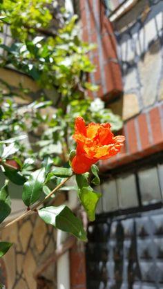 NAR Çiçeği bizim fakir hanenin gülşeni ...Uşşak - Türkei
