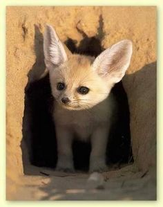 Apparently Fennec Foxes are popular pets in Egypt. Baby Animals Pictures, Cute Baby Animals, Fenic Fox, Fennec Fox Baby, Fox Pups, African Wild Dog, Foxes Photography, Cute Fox, Wild Dogs