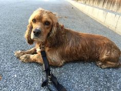 Lost and Found Paws in Los Angeles Metro Area Page Liked · 2 hrs · Edited ·    SYLMAR, CA - LOST DOG Pet Name: Ted (ID# 108751) Gender: Male Breed: Cocker Spaniel Breed 2: Other Color: Golden Color 2: Tan/Cream Pet Size: Medium (20-39lbs) Pet Age: 2 years Date Lost: 10/04/2015 Zip Code: 91342 (SYLMAR, CA) *** 310-619-5149 ***