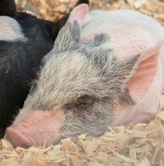 A baby piglets took a well-deserved nap in the livestock tent during of Penn State's Ag Progress Days. Animal Help, Animal Pictures, Penn State College, Ag Science, Days In August, Baby Piglets, Agricultural Science, Livestock, Adorable Animals